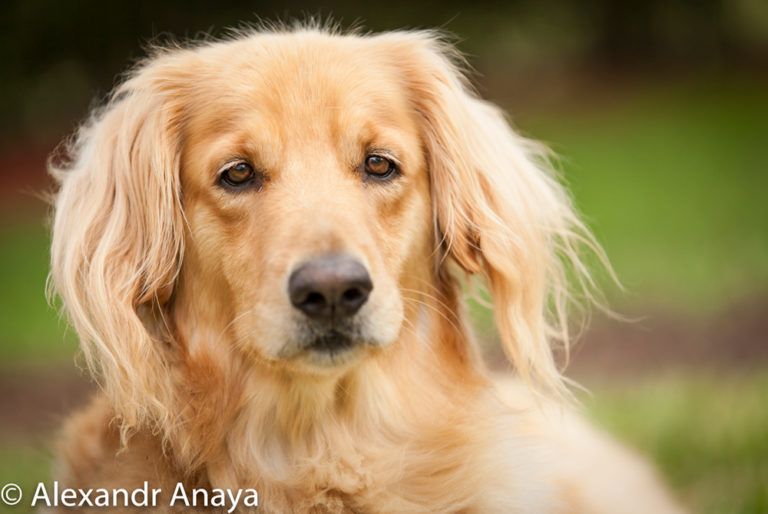 alexandr anaya photography golden retriever